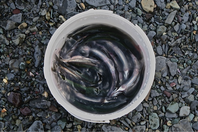 caplin in bucket