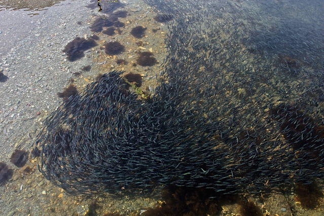caplin swimming